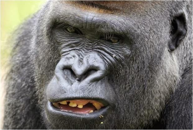 a gorilla penis