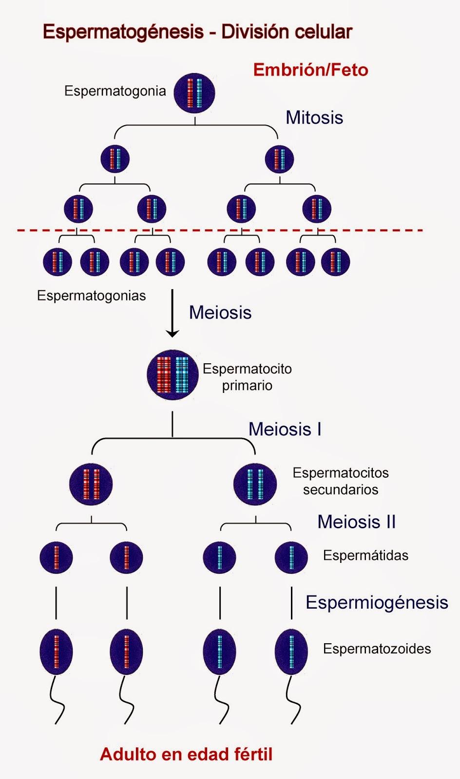 Mitosis y Meiosis durante la espermatogénesis