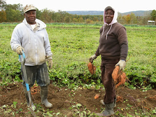 Neville and Claudette harvest sweet potatoes