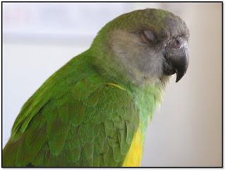 veterinaria online sindrome de dilatacion del proventriculo en aves