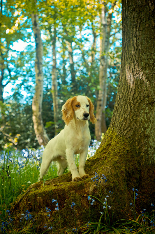 A cocker spaniel in the bluebell woods on a sunny day