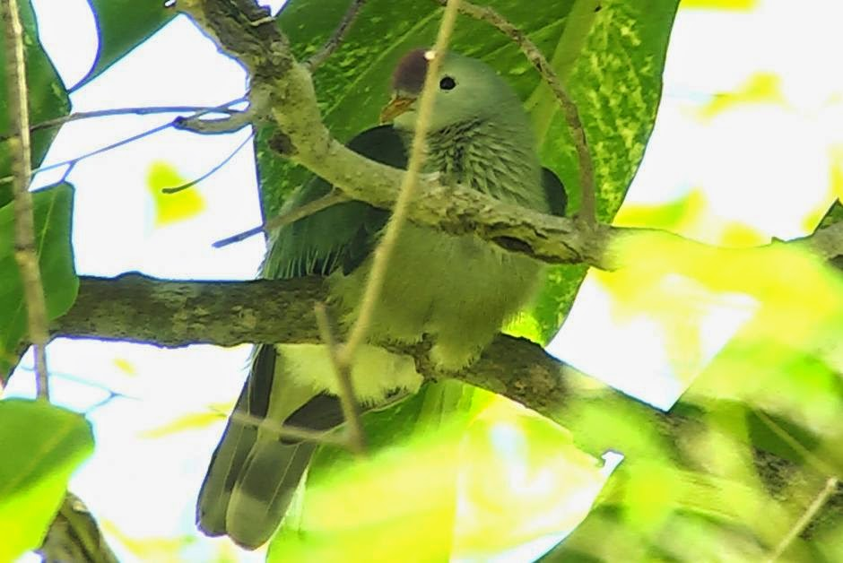 Makatea fruit dove