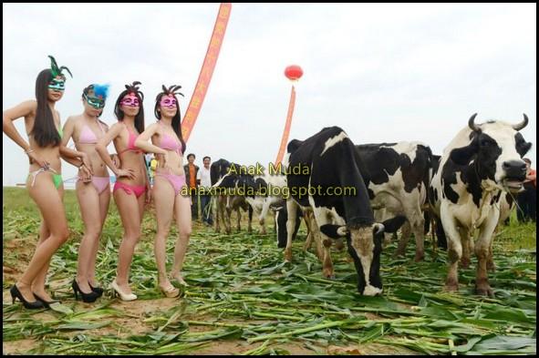 kontes-kecantikan-sapi-pertama-di-china