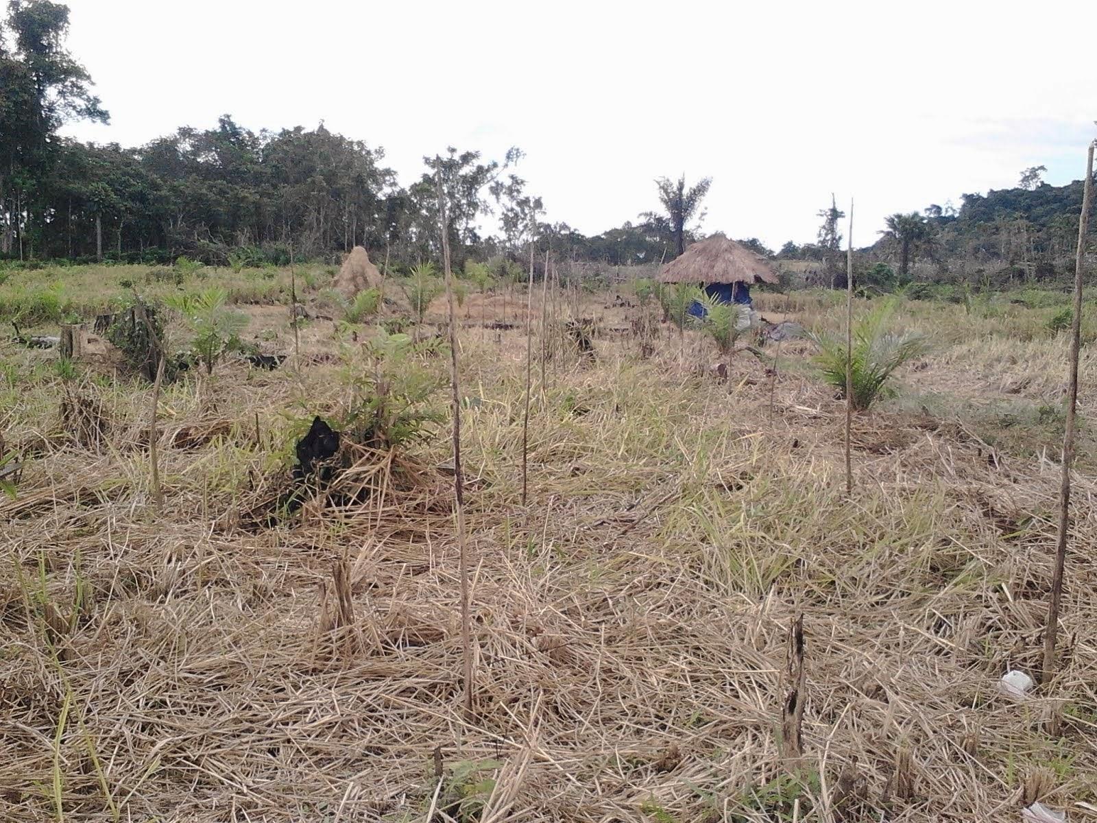 Pra kegiatan demplot budidaya semangka dilahan bekas padi ladang di Desa Saing Prupuk