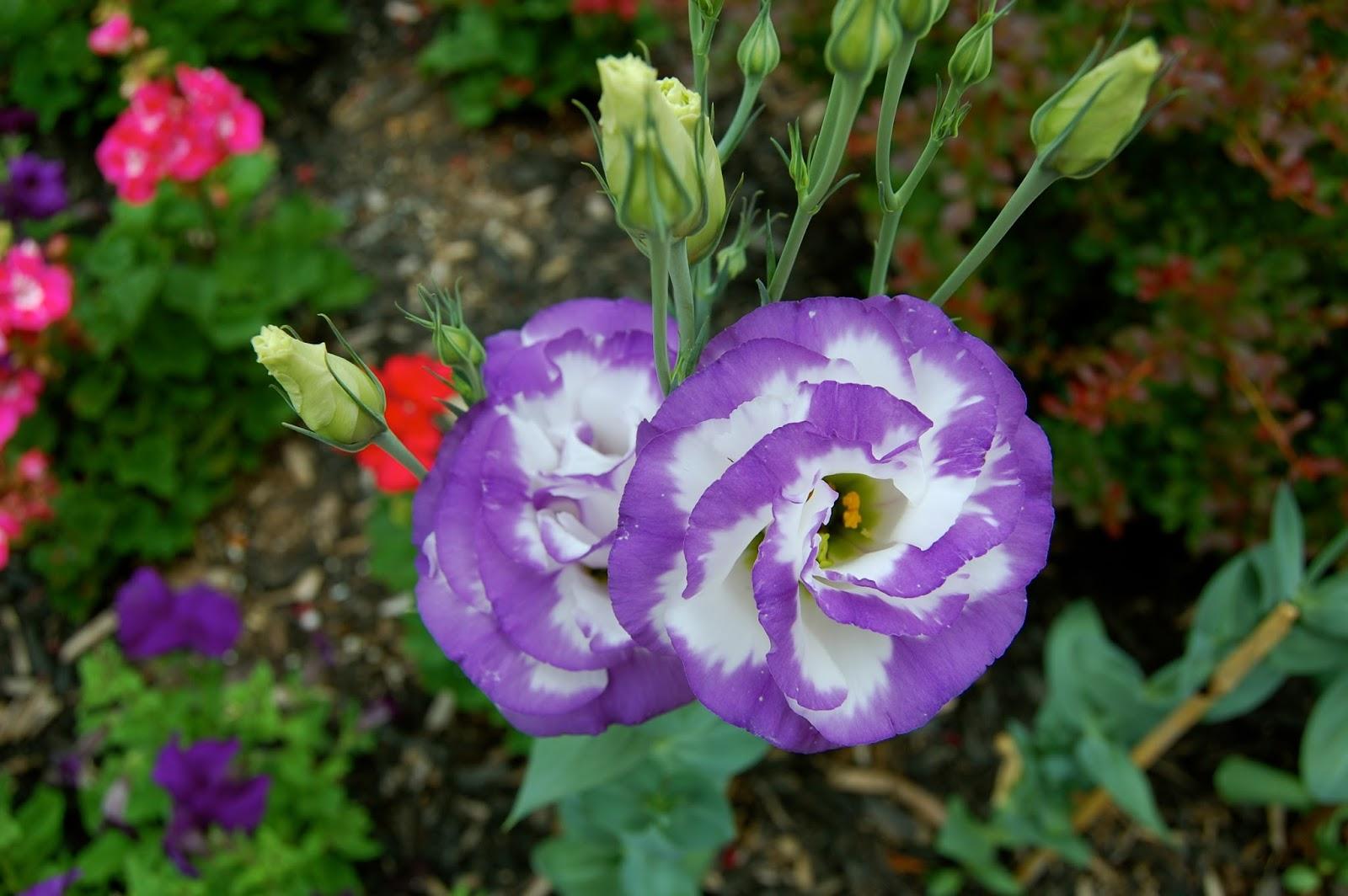 Эустома многолетняя посадка и уход, фото цветов 52