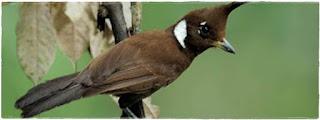 Burung Cililin : Habitat Burung Cililin Penyebaran Burung Cililin Secara Global