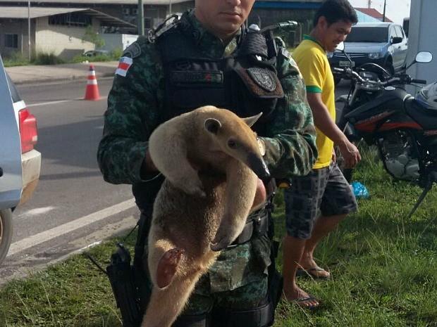 Tamanduá foi resgatado na manhã desta segunda (30) (Foto: Divulgação/Batalhão Ambiental)
