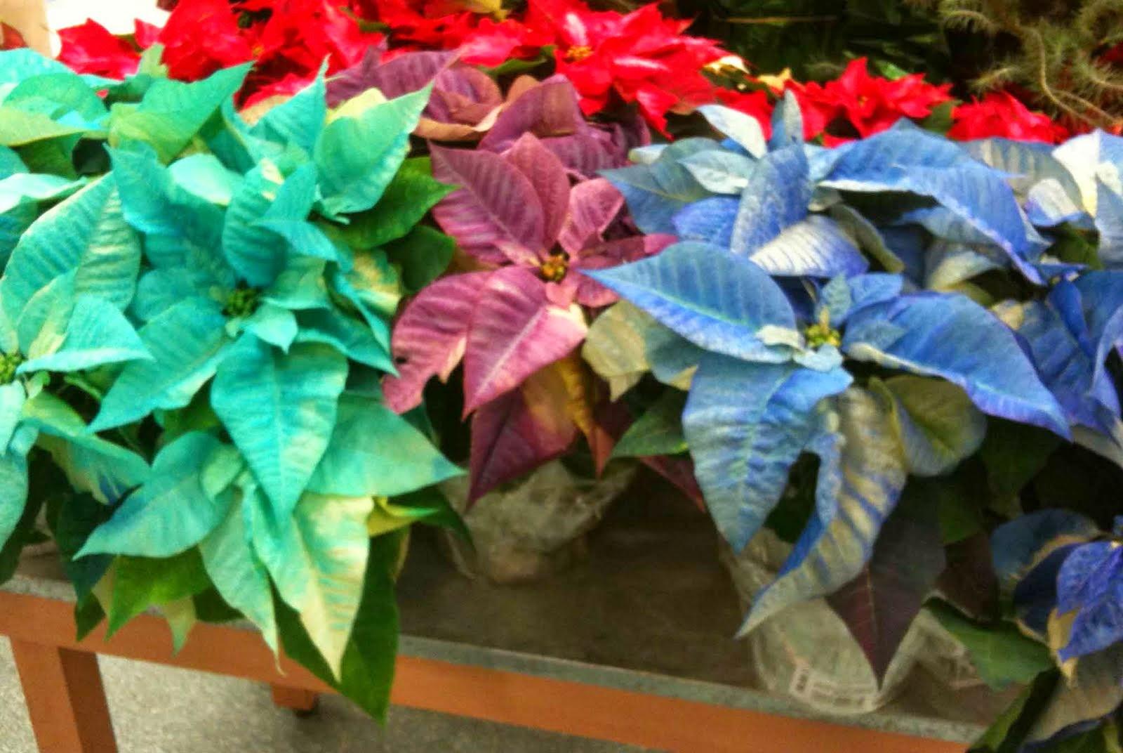 Sabias que regalar una flor de pascua trae suerte - Que cuidados necesita la flor de pascua ...