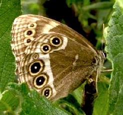 https://fr.wikipedia.org/wiki/Bacchante_%28papillon%29
