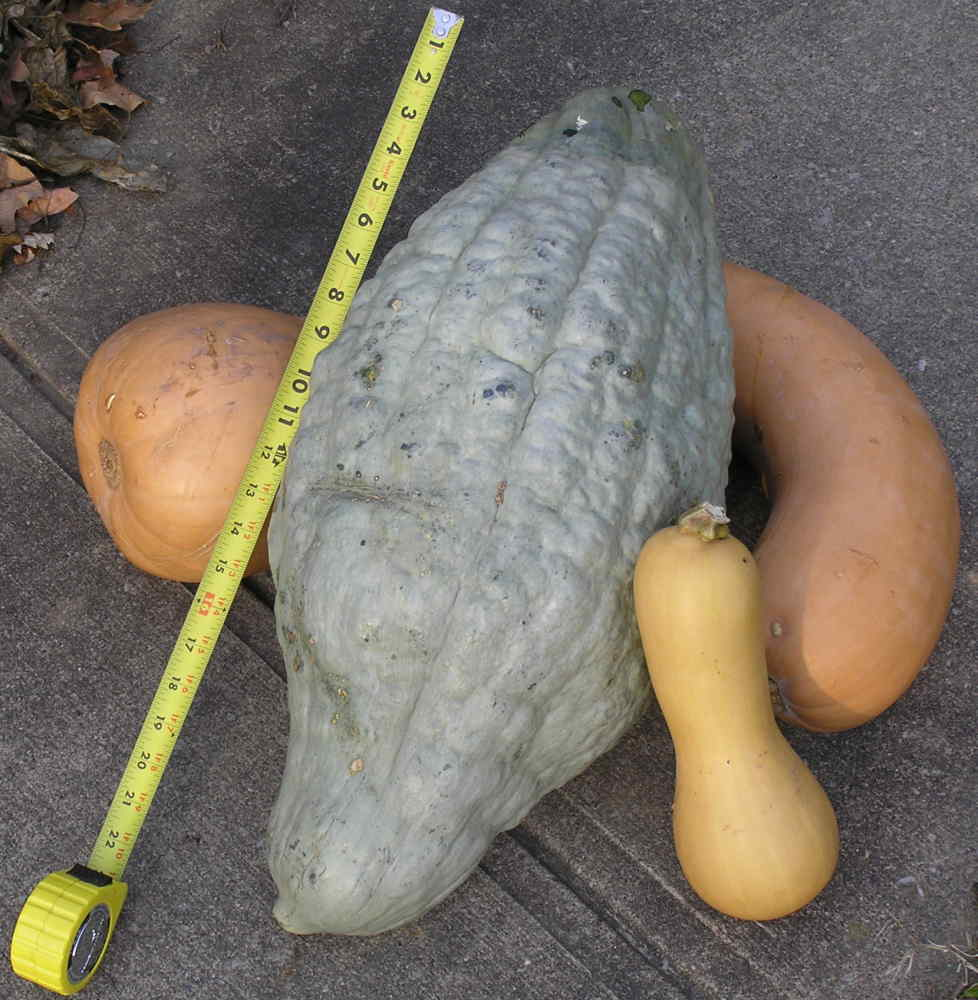 Uncle Macs Garden Shed: THE BLUE HUBBARD SQUASH
