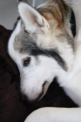 Vår bildsköna hund , Nanook