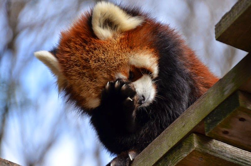 40 Adorable red panda pictures (40 pics), red panda face palm