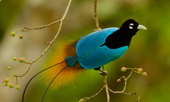 A Bird Photo from Birds of Paradise - Krasivie Ptici