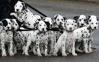 dalmatian dog puppy puppies pets dog hound canine pooch canis bow-wow despicable fellow qen txakurra gos pas hond koer aso koira kutya hundur madra pets huisdieren animaux de compagnie Haustiere de companie husdjur Evcil Hayvan anifeiliaid anwes domace zvali augintiniai alagang hayop domaci zvirata kucni ljubimci animals domestics maskotak