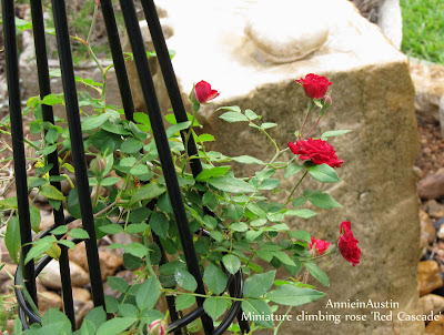 Annieinaustin,Red Cascade climbing mini-rose