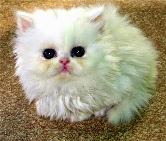 Cara merawat kucing persia dengan baik dan benar