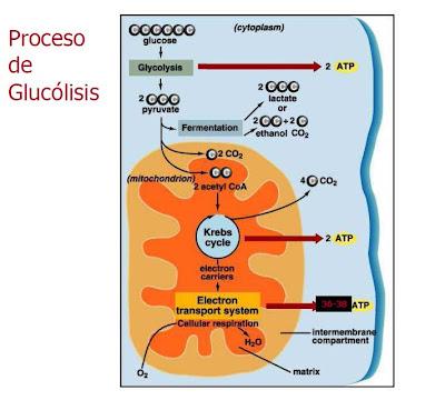 Respiración Celular : Producción de energía