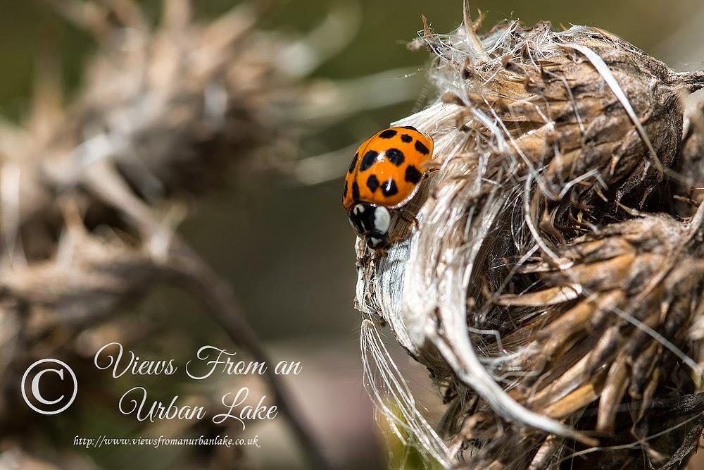 Harlequin Ladybird - Manor Farm, Milton Keynes