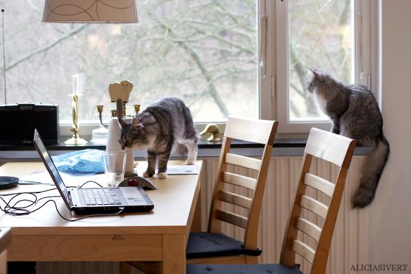 aliciasivert, alicia sivert, alicia sivertsson, tofslan och vifslan, katter, katt, cat, cats, sibirisk katt, skeppskatt
