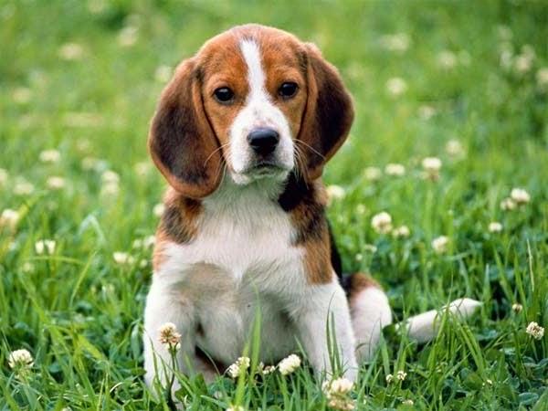 Mengenal Anjing Beagle Si Anjing Pemburu