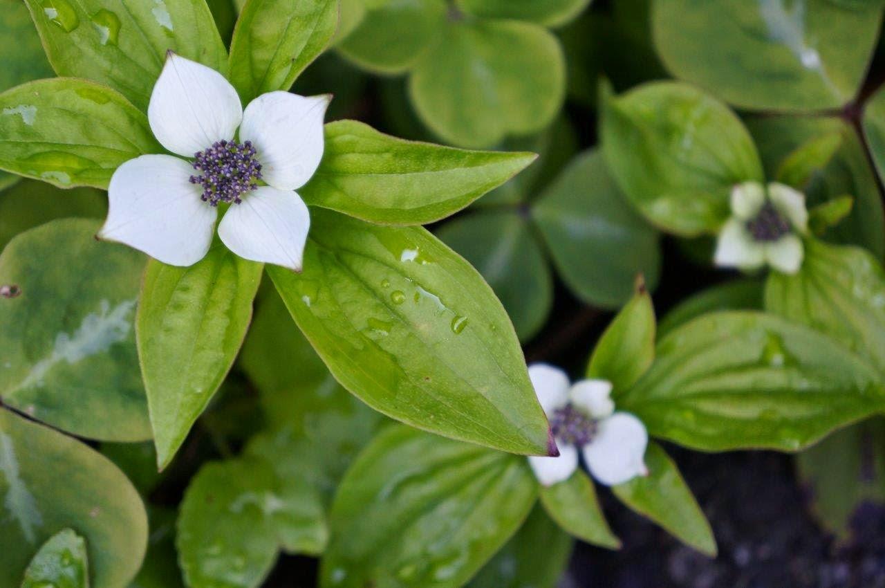 Cornus canadensis or bunchberry in the garden in spring.