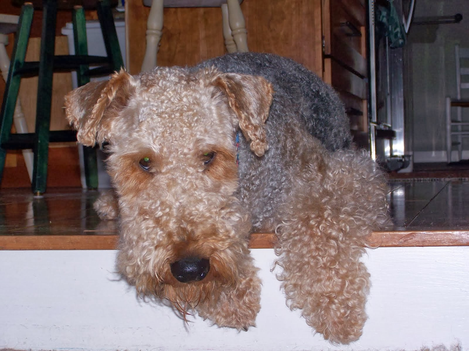 Airedale In The House