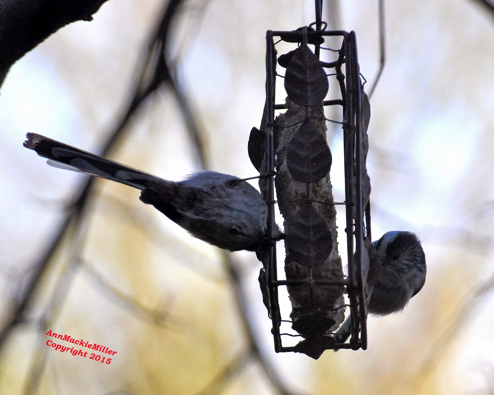 long-tailed tits on suet feeder