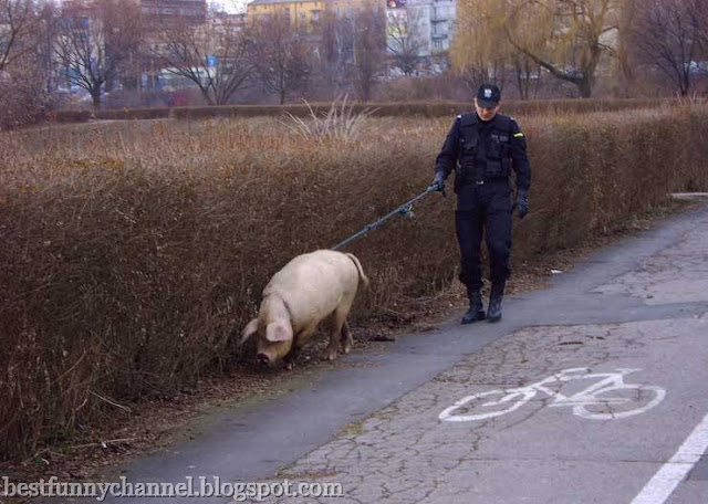 Funny pig.