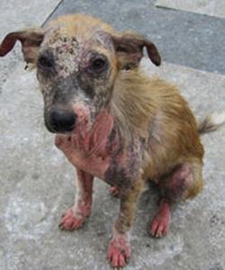 Cão com sarna demodécica
