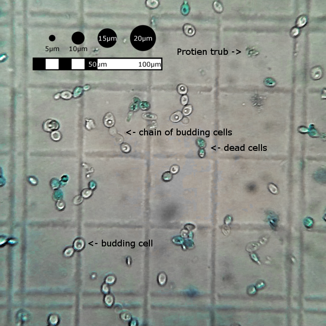 reaction of yeast cells with methylene blue Yeast cells and their extracts were reported to show glycolytic fluctuations with a  frequency of  cell cycle reactions in vitro importantly, the lipid  nisms of  methylene blue (mb) and aluminium phthalocyanine tetrasulfonate.