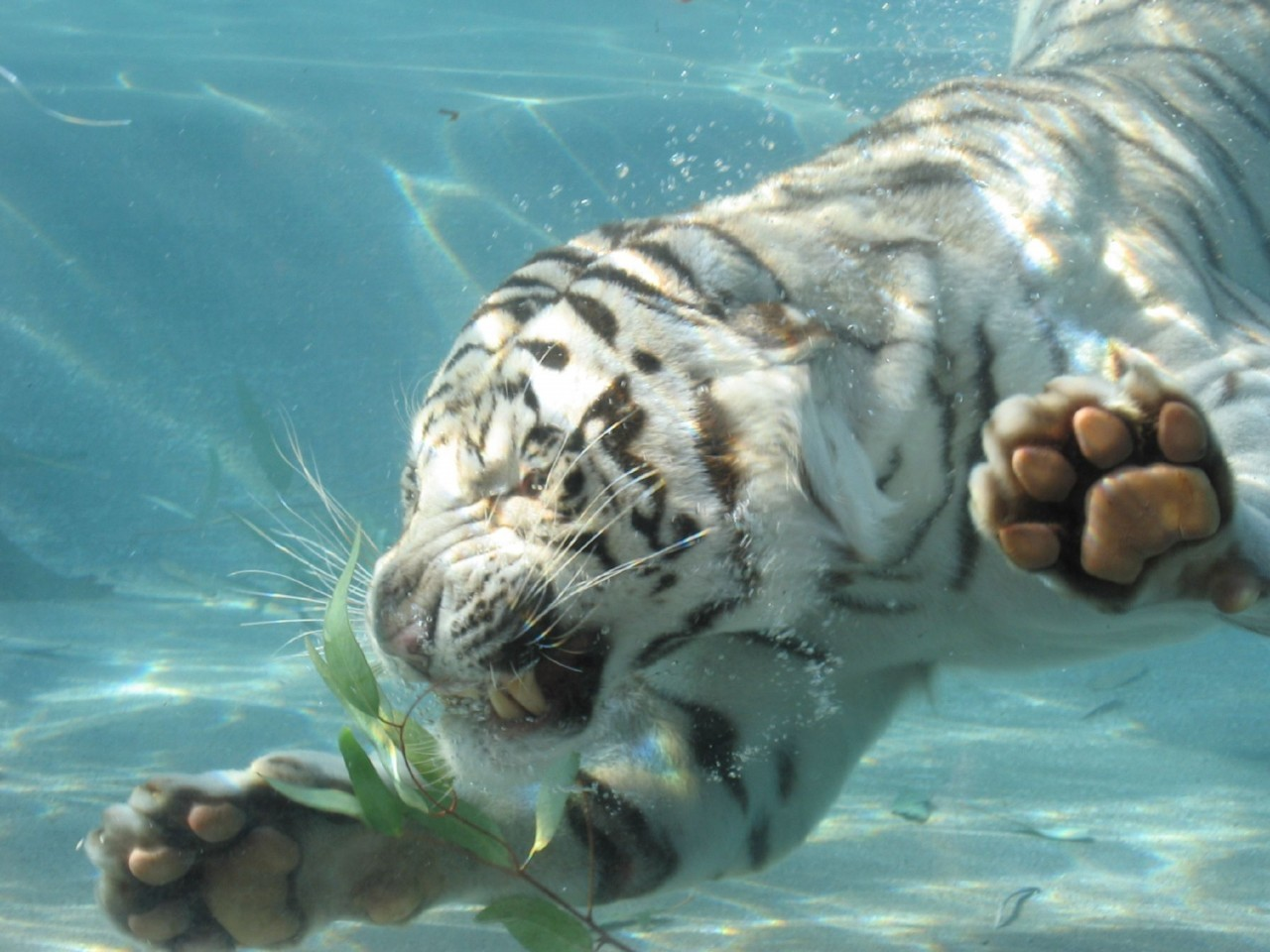 white tiger swimming 1280x960 En Güzel HD Masaüstü Kaplan Resimleri