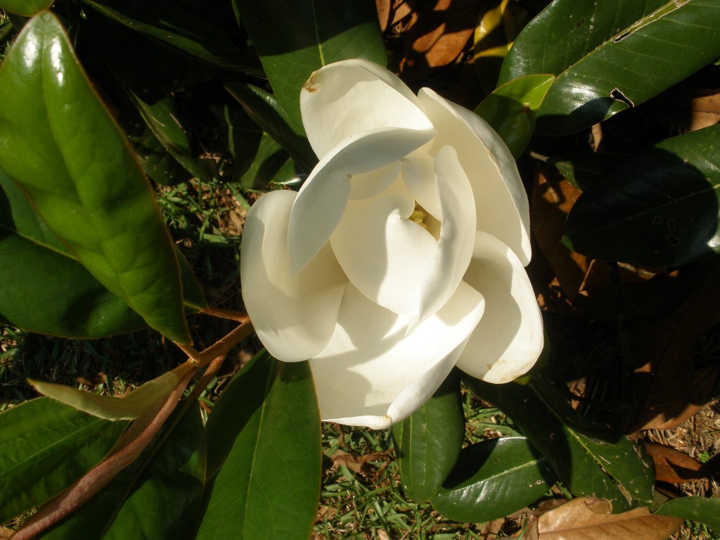 Mariette 39 s back to basics our fragrant magnolia - Magnolia grandiflora ...