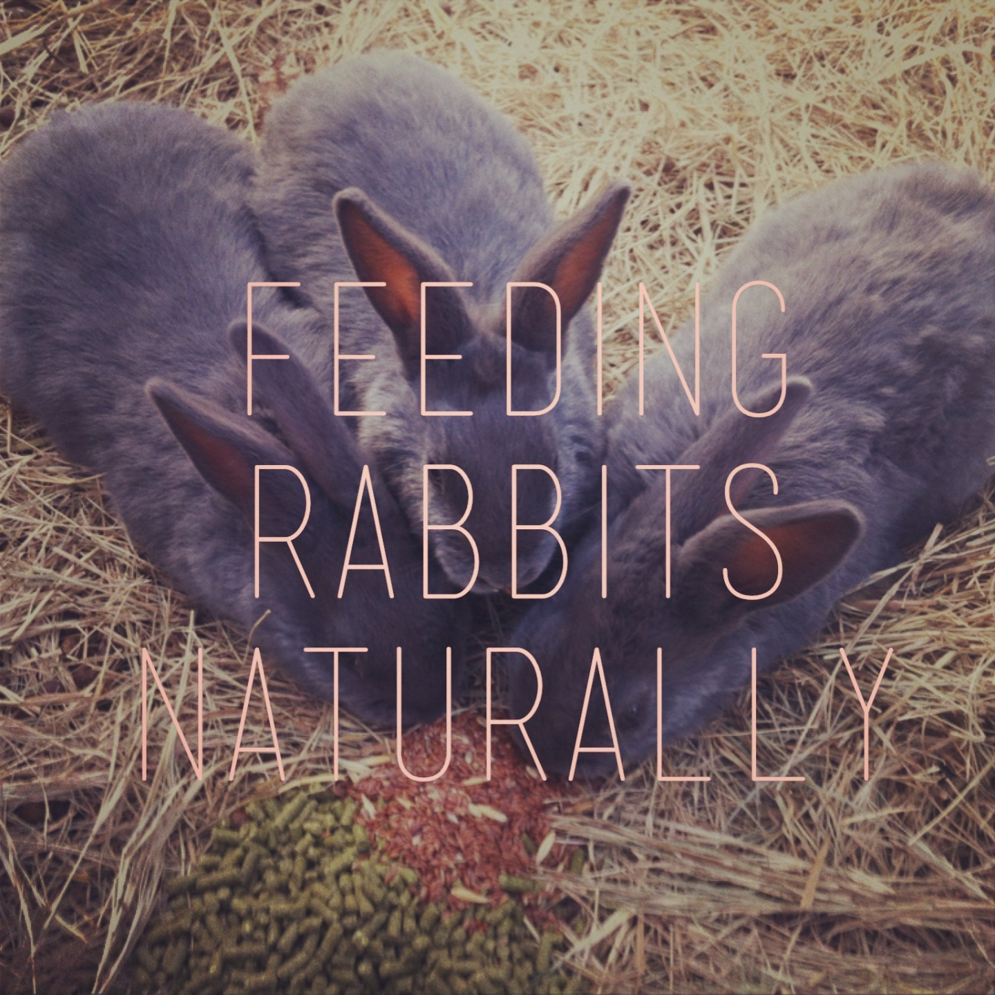 Haven Homestead: Feeding Rabbits Organically on a Pasture ...