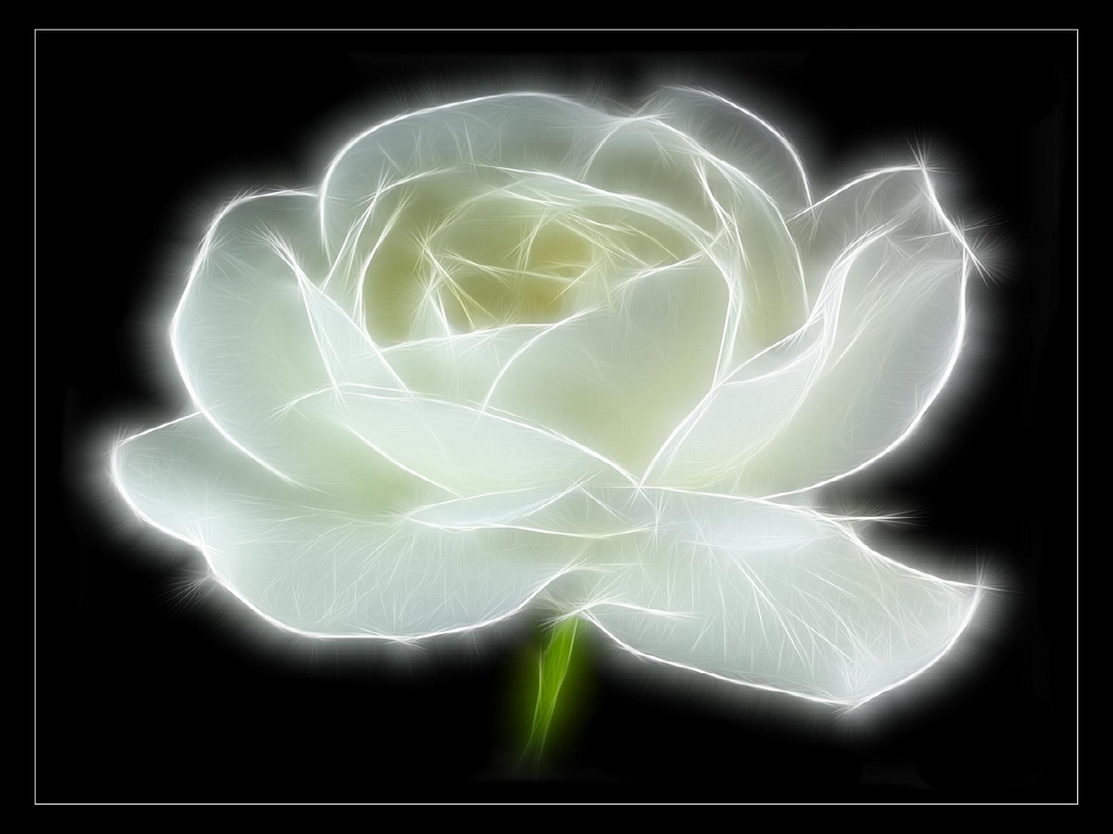 white rose backgrounds wallpapers - photo #31