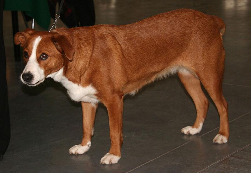 Austrian Pinscher Dog