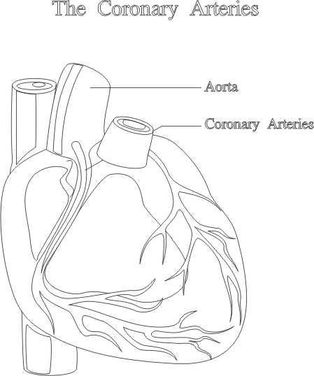 El corazn y las arterias coronarias  Foto Montajes de Famosos