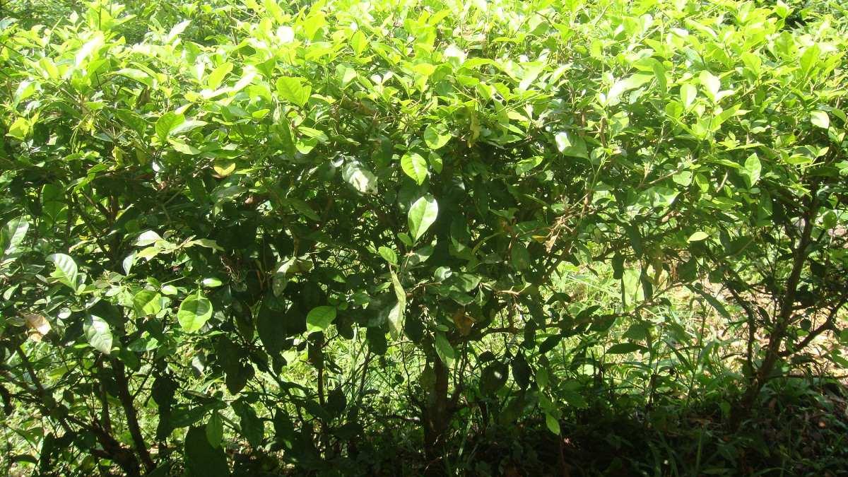 Cerca viva for Una planta ornamental