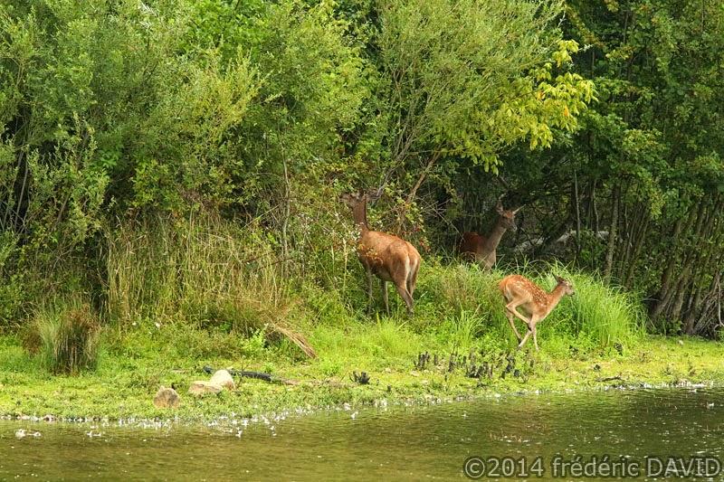 animaux cervidés biche faon nature Sorques Seine-et-Marne