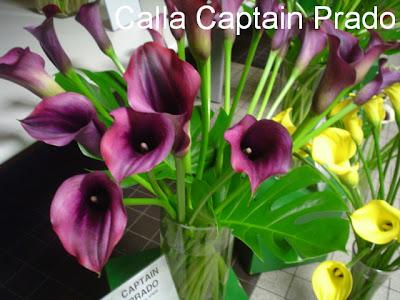 img Calla Captain Prado