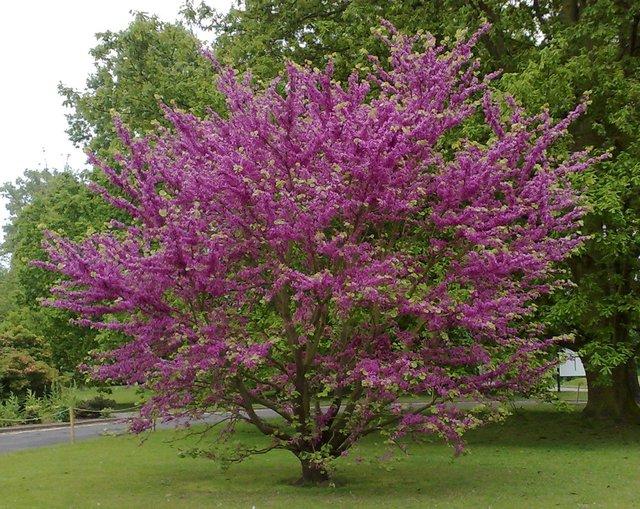 Com es cercis siliquastrum verde jard n - Arboles ornamentales para jardin ...