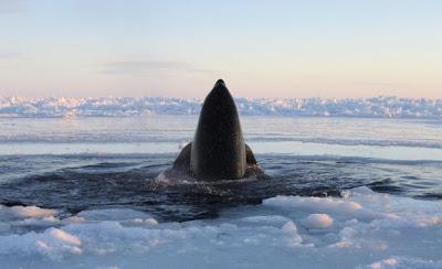 Ikan paus pembunuh terperangkap di bawah lapisan ais