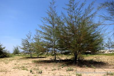 Pokok rhu
