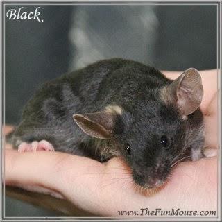 黒ネズミからPAK遺伝子を除くと