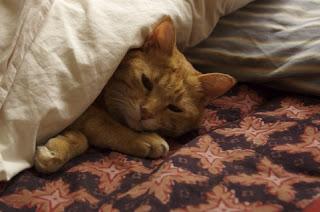 猫が布団で寝ている姿