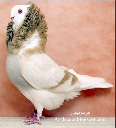 صور حمام - صور حمام متنوعة - صور أنواع الحمام dove bird