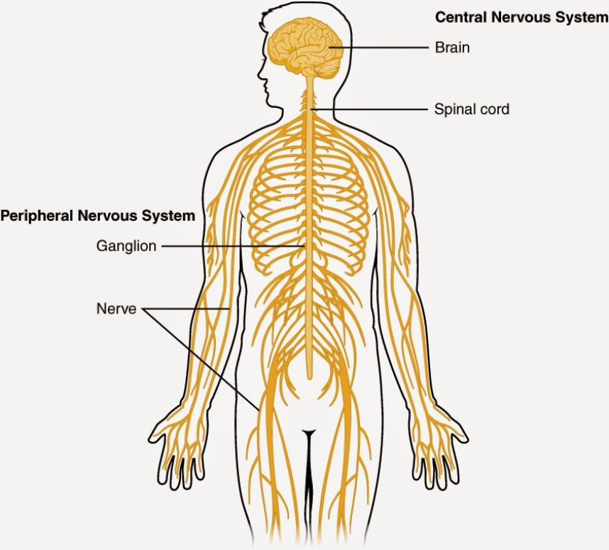 ... To Label diagram of nervous system anatomy picture reference and