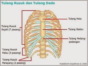 Tulang rusuk dan tulang dada dilihat dari depan