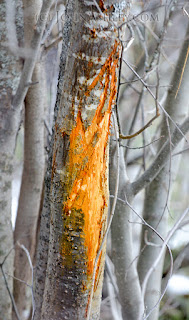 "White-tailed deer buck rub ""scrape"" tree"