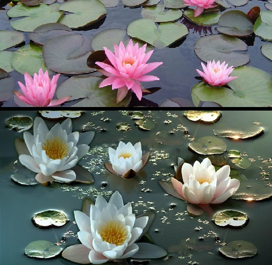 Musings from the marsh the lotus the water lily water lilies mightylinksfo