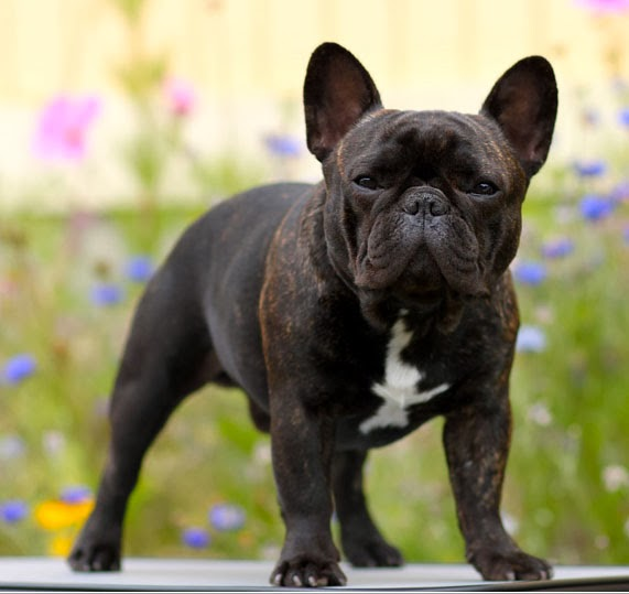 french bulldog health questions ehow tattoo design bild